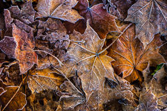 Frozen autumn frost cold morning ice maple leaves. Macro Stock Photography