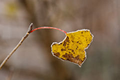 Frozen autumn leaf. Royalty Free Stock Image