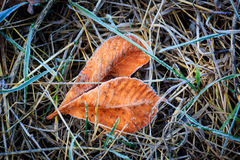 Frozen autumn leafs in grass. Frozen autumn leafs - abstract natural background Royalty Free Stock Photo