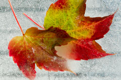 Frozen Autumn leaves. Frozen in ice Autumn colorful leaves close-up Stock Photos