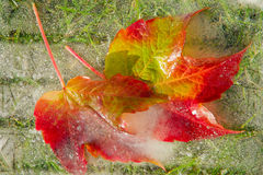 Frozen autumn leaves. Frozen in ice autumn leaves and a green grass Royalty Free Stock Images
