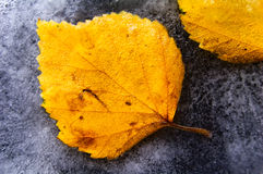Frozen autumn leaves. Frozen leaves over ice background Royalty Free Stock Photo