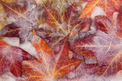 Frozen autumn leaves Stock Images