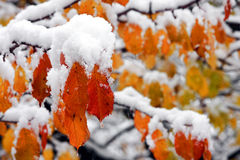 Frozen autumn leaves. Covered whit snow in winter season Stock Photos
