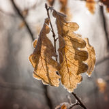 Frozen autumn leaves Royalty Free Stock Photo