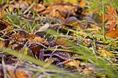 Frozen autumn leaves on the grass Stock Images