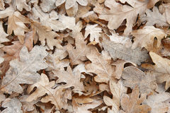 Frozen autumn leaves on the ground. Nature background. Warm tone Royalty Free Stock Photography
