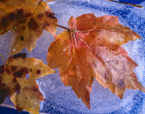 Frozen Autumn maple leaf Royalty Free Stock Images