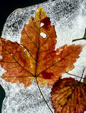 Frozen Autumn maple leaf Stock Photo