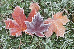 Frozen autumn maple leaves. Frozen fallen maple leaves taken on an early frosty morning of a cold autumn day Stock Photography