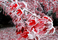 Frozen Autumn Royalty Free Stock Photography