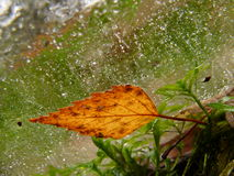 Frozen Autumnal leaf. Closeup of Autumnal colored leaf in frozen water Stock Photo