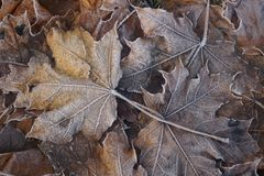 Frozen autumnal maple leaves with frost-dew. Close-up of frozen golden autumnal maple leaves with frost-dew on it. Cold autumn morning Stock Image