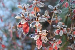 Frozen azalea with red leaves The first frosts, cold weather, frozen water, frost and hoarfrost. Macro shot. Early Stock Photos