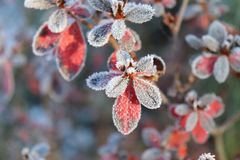 Frozen azalea with red leaves .The first frosts, cold weather, frozen water, frost and hoarfrost. Macro shot. Early Royalty Free Stock Photos