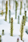 Frozen baby fir Royalty Free Stock Images