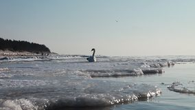 Frozen Baltic Sea And Swan stock footage