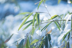Frozen bamboo branch leaf covered with snow close up view. White frozen bamboo branches with frost and snow in winter. Frosty sunny day in December Royalty Free Stock Photography