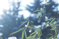 Frozen bamboo branch leaf covered with snow close up view. White frozen bamboo branches with frost and snow in winter. Frosty sunny day in December Royalty Free Stock Image