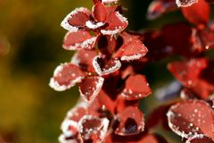Frozen barberry Royalty Free Stock Photos