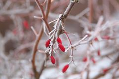 Frozen Barberry berries covered with ice crystals stock images