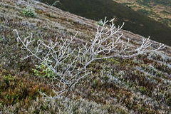 Frozen bare small tree on hill of mountain. Stock Photo