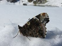 A Frozen Beautiful Butterfly In The Snow royalty free stock photo
