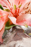 Frozen beauty. Lilies with clear ice pieces Royalty Free Stock Photography
