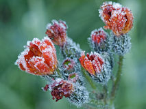 Frozen beauty. Flower covered with hoarfrost in early winter Stock Image
