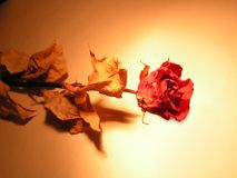 Frozen beauty. Dried red rose under spot light royalty free stock images