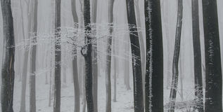 Frozen beech forest in winter with frost and white snow Royalty Free Stock Images