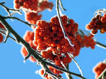 frozen berries Stock Photography