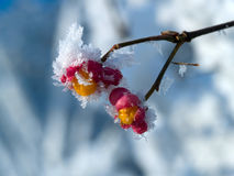 Frozen berries. Trying to survive at the end of the winter Royalty Free Stock Photography
