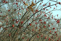Frozen berries of hawthorn on branches. Stock Photography