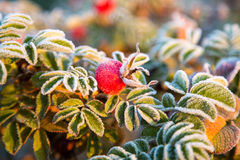 Frozen berries and leaves of the rose at sunrise Stock Photo