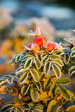 Frozen berries and leaves of the rose at sunrise Stock Photos