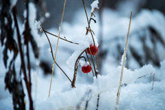 Frozen berries. Look at these beautiful frozen berries. You can use this picture to show the wild life in the wood Royalty Free Stock Photography