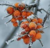 Frozen berries of sea-buckthorn Stock Photo