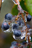 Frozen Berries Stock Images