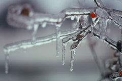 Frozen Berry. A frozen berry clings to a frozen branch Stock Photography