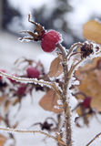 Frozen berry of briar. (dog rose Royalty Free Stock Image