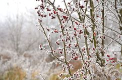 Frozen berry Royalty Free Stock Image