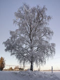Frozen Birch. Winter, extreme cold conditions, -27C Stock Photography