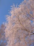 Frozen birch on background of sky blue Royalty Free Stock Photography