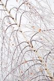 Frozen birch branches Stock Image