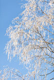 Frozen birch branches covered with snow from below in sunny day Stock Images