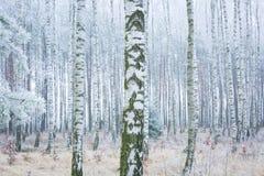 Frozen birch forest Stock Photo