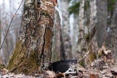 Frozen birch sap Stock Photography