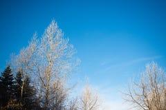 Frozen birch and spruce against