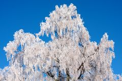 Frozen birch tree Stock Photography